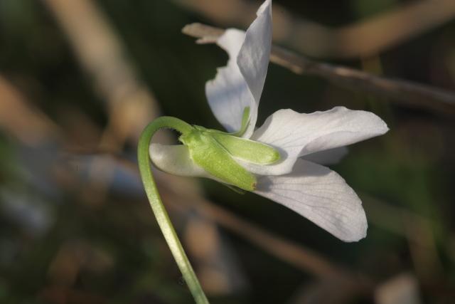Specie di Viola