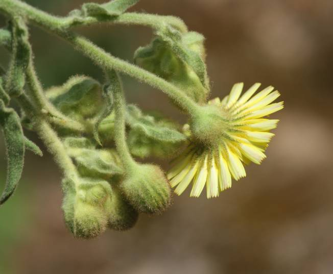 Andryala integrifolia / Lanutella