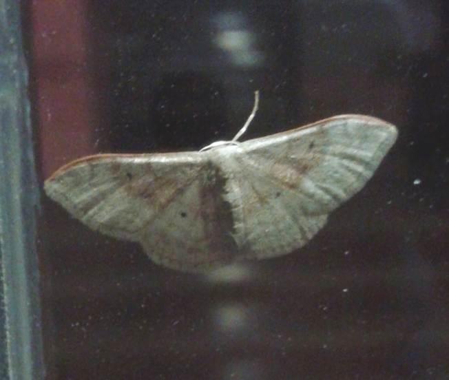 Idaea da identificare: Idaea degeneraria - Geometridae
