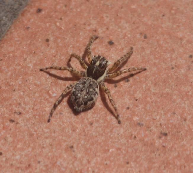 Menemerus semilimbatus, femmina - Vignanello (VT)
