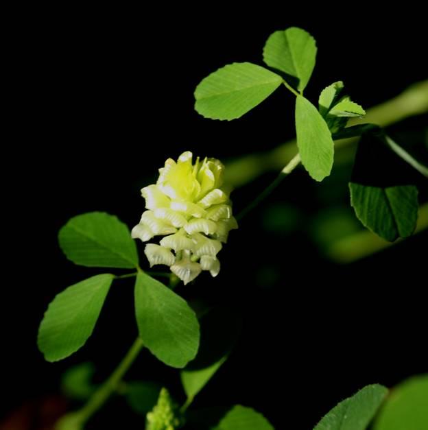 Trifolium campestre? Sì !
