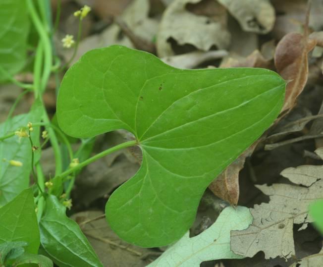 Dioscorea communis (=Tamus communis) / Tamaro