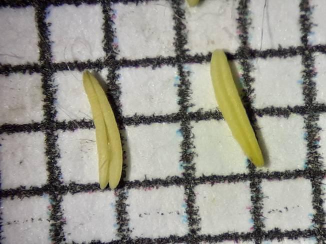 Phalaroides arundinacea?  Sì !