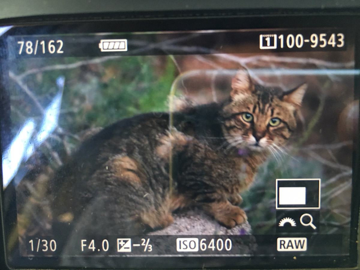 Gatto selvatico? Gatto domestico, soriano