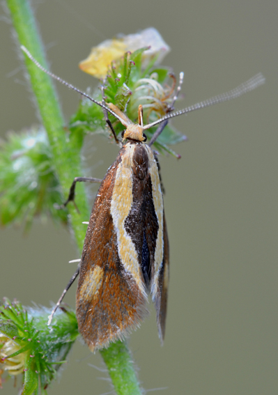 Farfalla da determinare - Harpella forficella, Oecophoridae