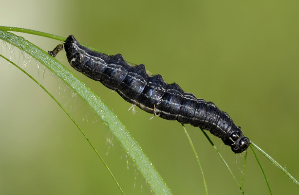 Che bruco è ?? Orthosia (Monima) cruda, Noctuidae
