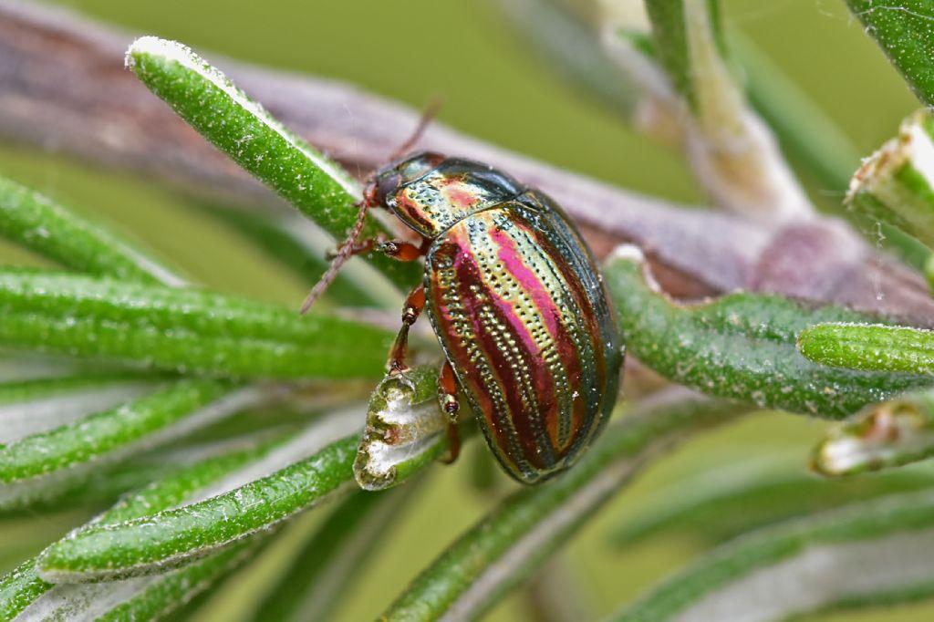 Chrysomelidae: Chrysolina americana