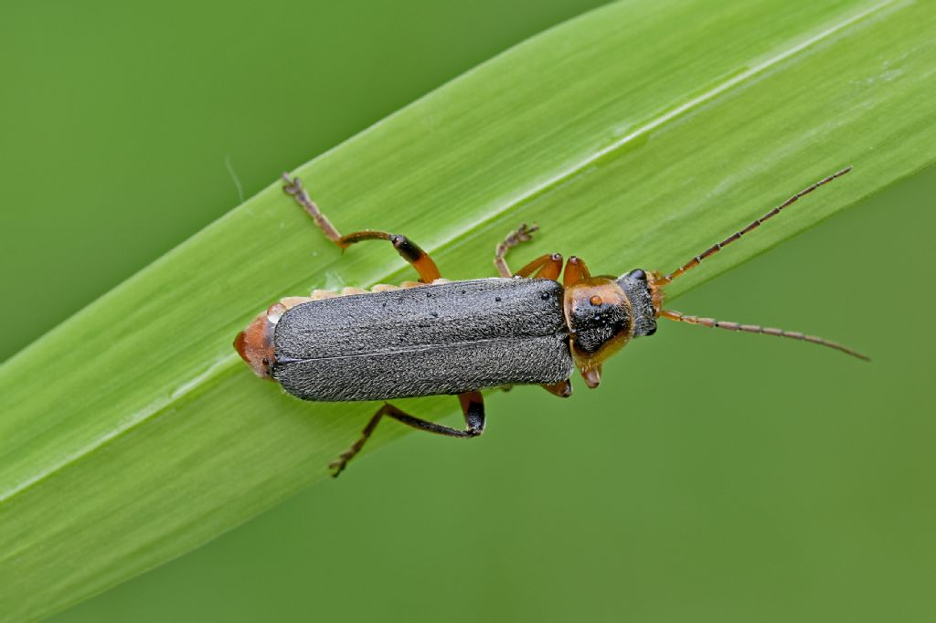 Cantharidae: Cantharis nigricans