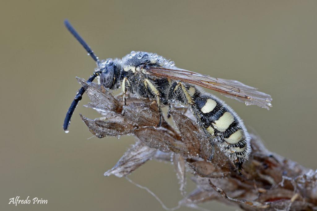 Colpa sexmaculata (Scoliidae), maschio