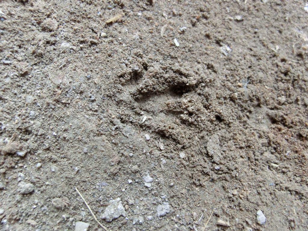 Impronte di ratto?