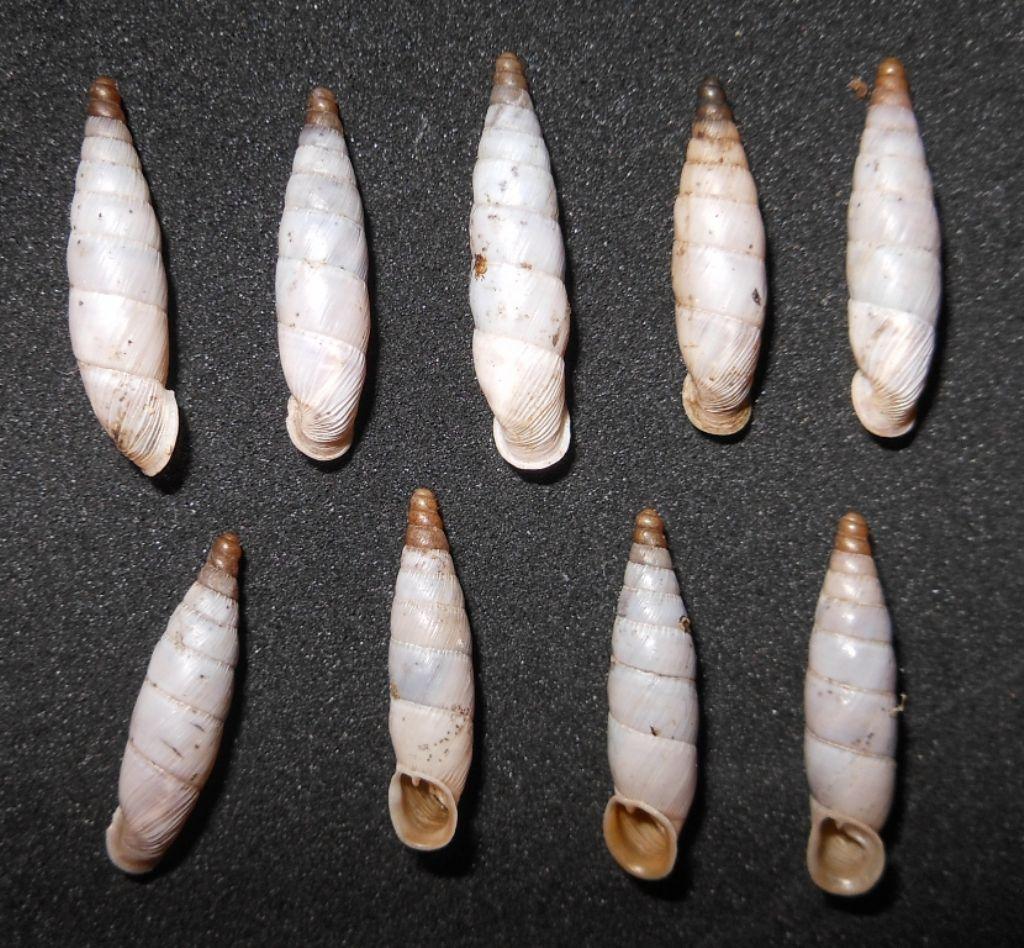 Leucostigma candidescens (Rossmässler, 1835)