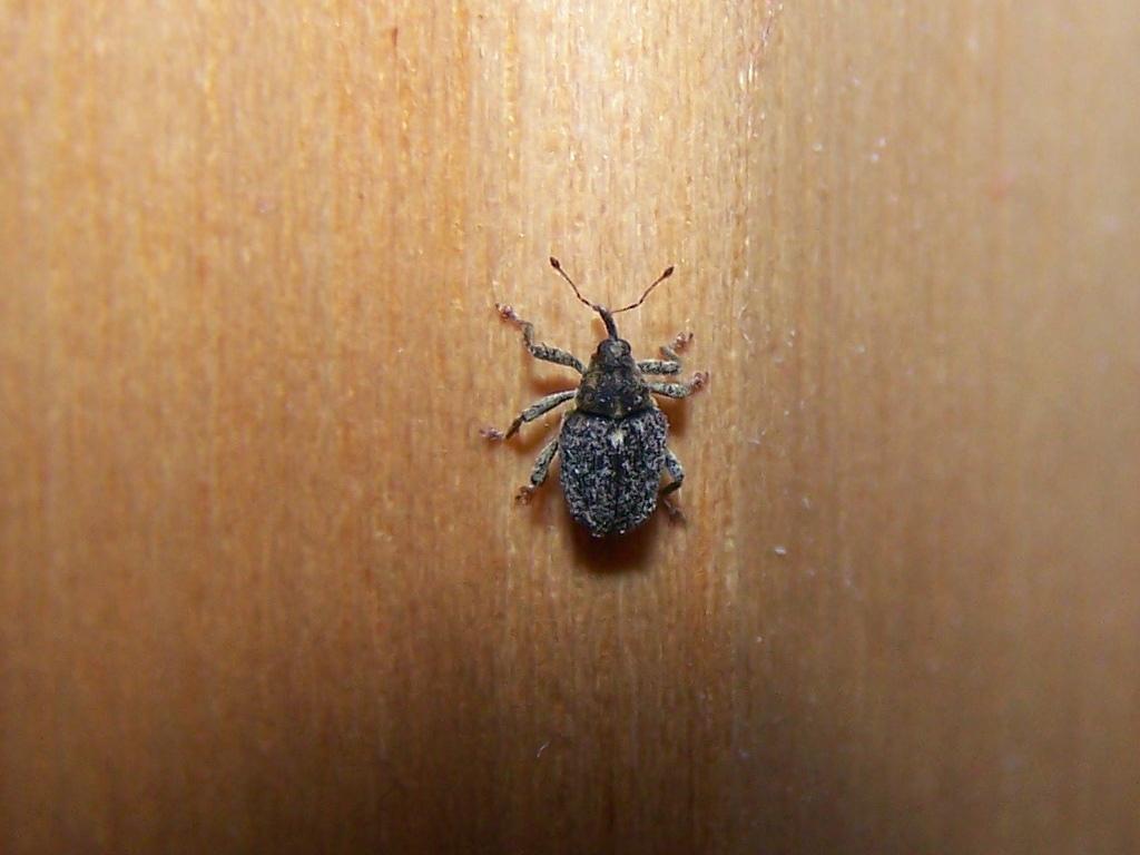 Curculionidae piedi rossi: Ceutorhynchus pallidactylus