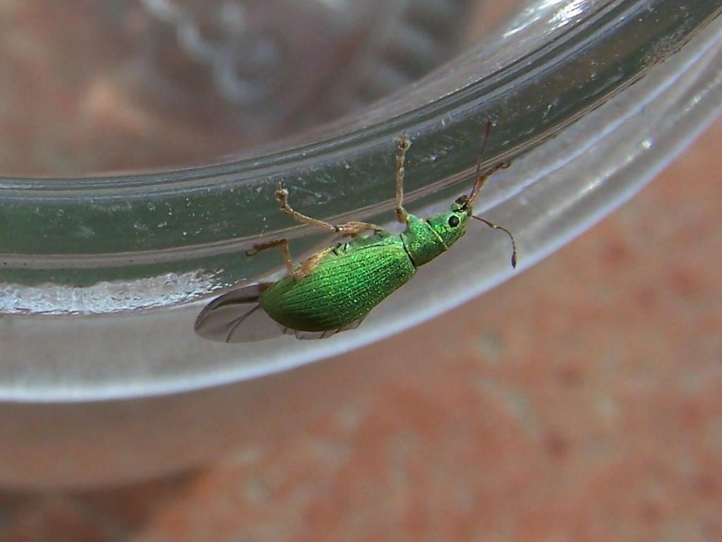 Curculionidae verde: Polydrusus sp.