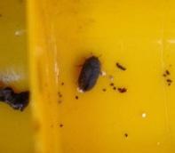 Anobium punctatum? Forse un Dermestidae?