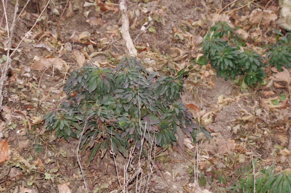 erbacea da determinare: Euphorbia cfr. amygdaloides