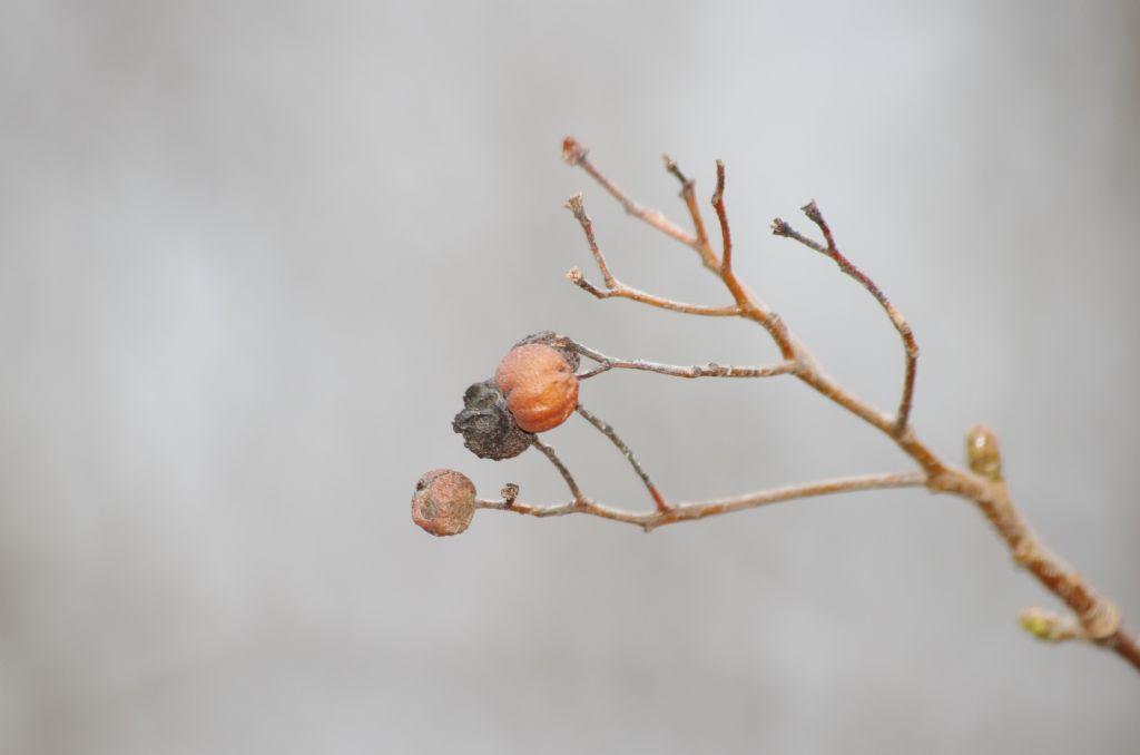 pianta con piccoli frutti