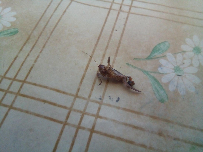 Da Trecastagni (CT): Yersinella raymondii, femmina (cfr.)