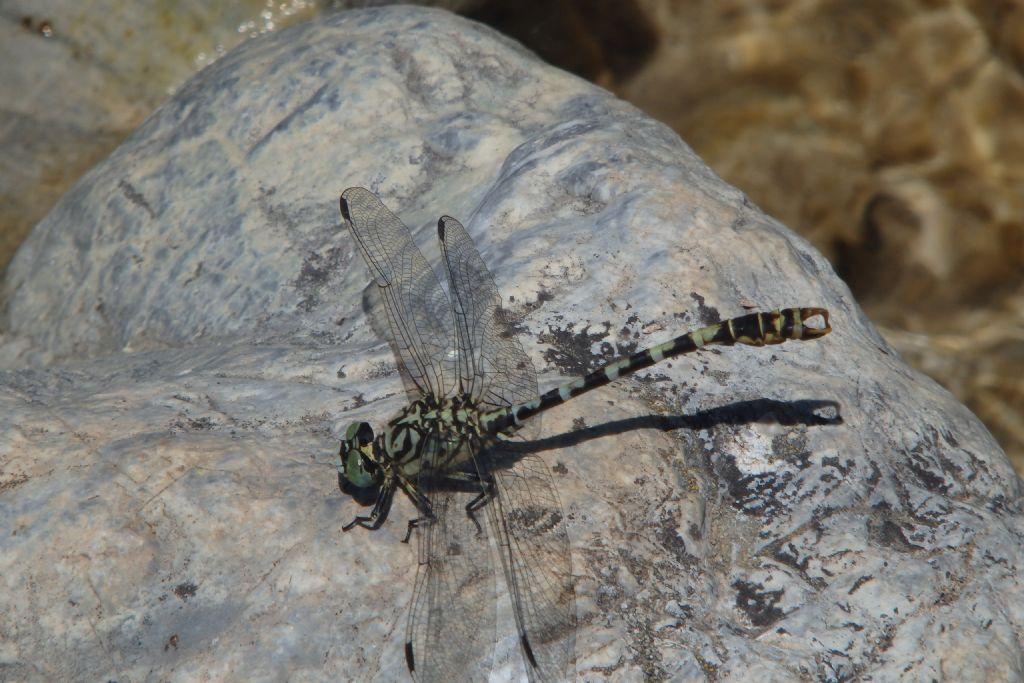 Identificare: Onychogomphus forcipatus forcipatus