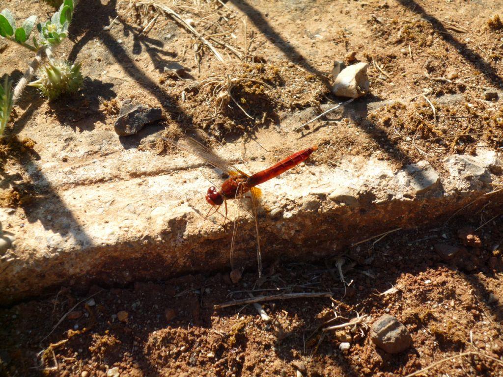 Da identificare della Grecia: Crocothemis erythraea