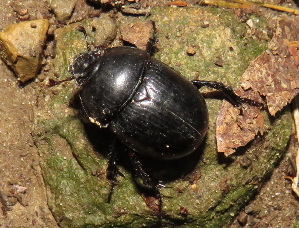 Anoplotrupes o Geotrupes?   Anoplotrupes stercorosus