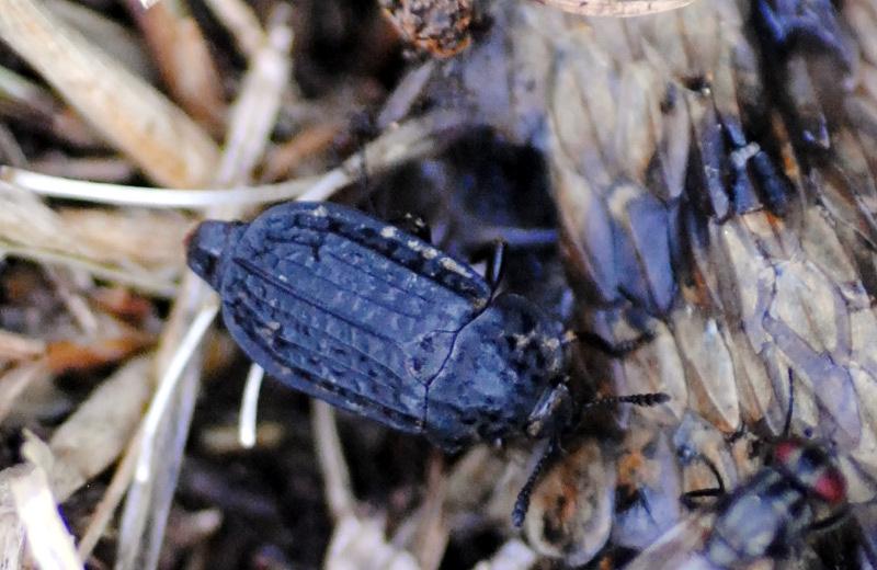 Silphidae: Thanathophilus rugosus? Sì.