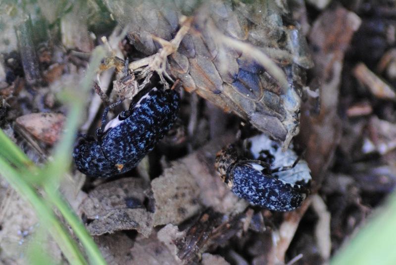 Dermestidae: Dermestes murinus in compagnia di (forse) D. undulatus.