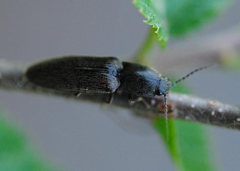 Altro Elateridae: Athous sp,