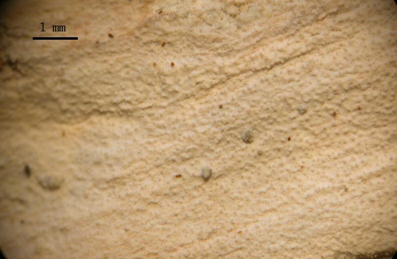 Hyphodontia breviseta (P. Karst.) J. Erikss.