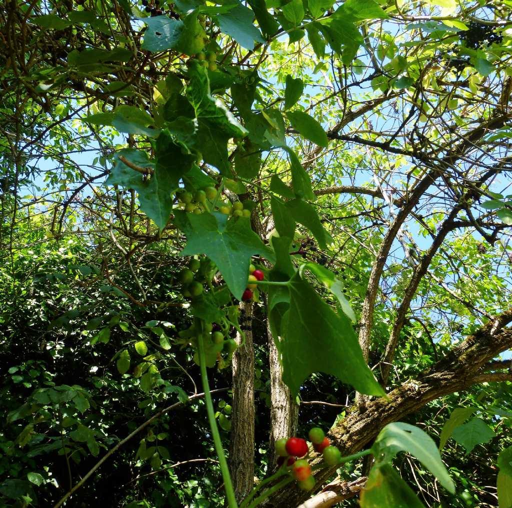 Sempre sulla Francigena - Bryonia cretica subsp. dioica