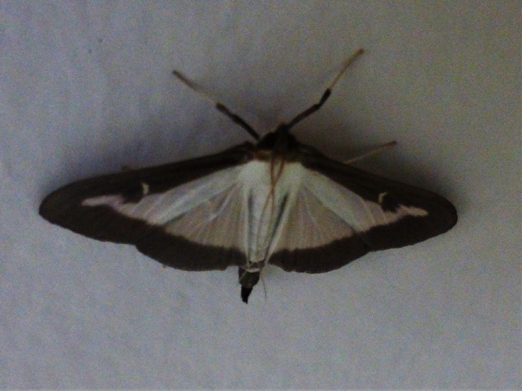 Cydalima perspectalis - Piralide del bosso (Crambidae)