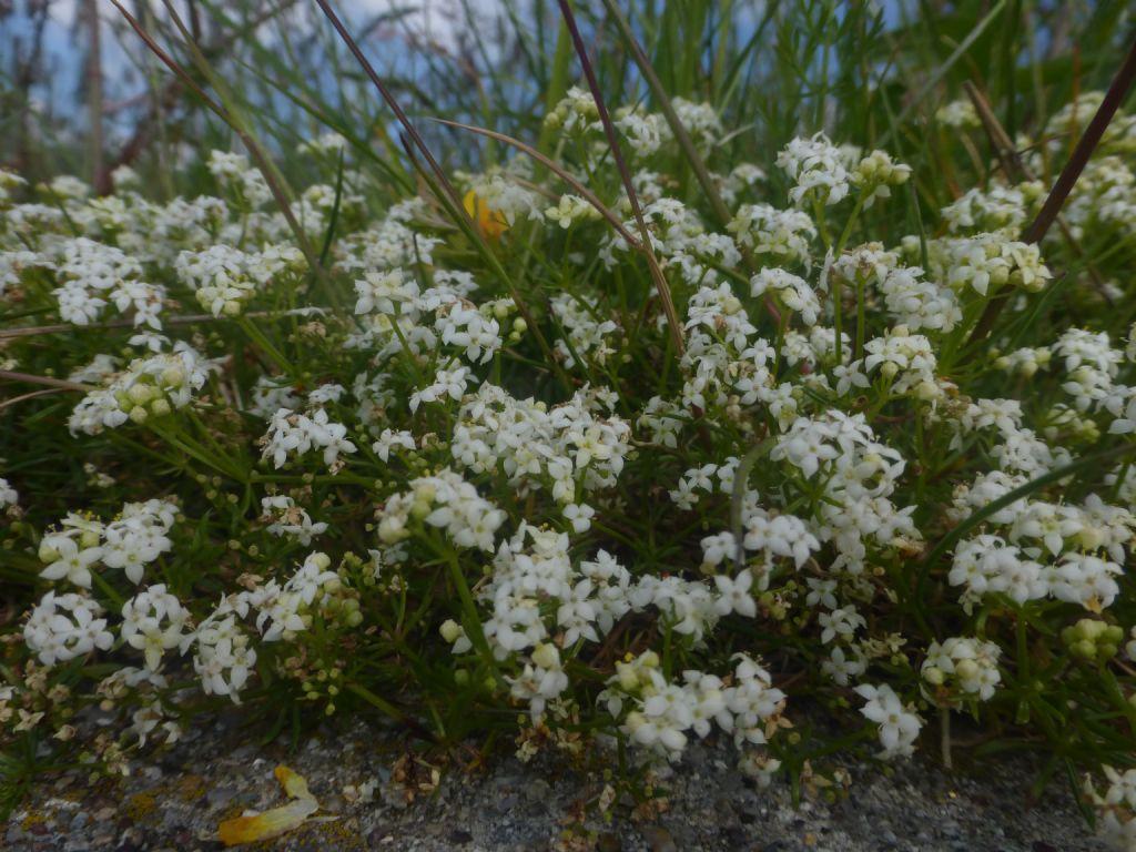 Galium anisophyllum?