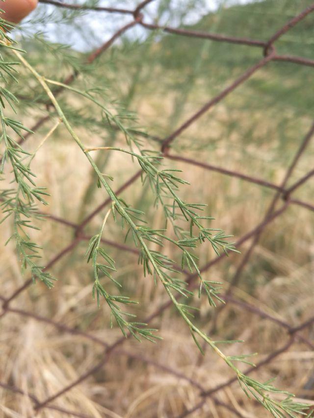 Asparagus cfr. officinalis