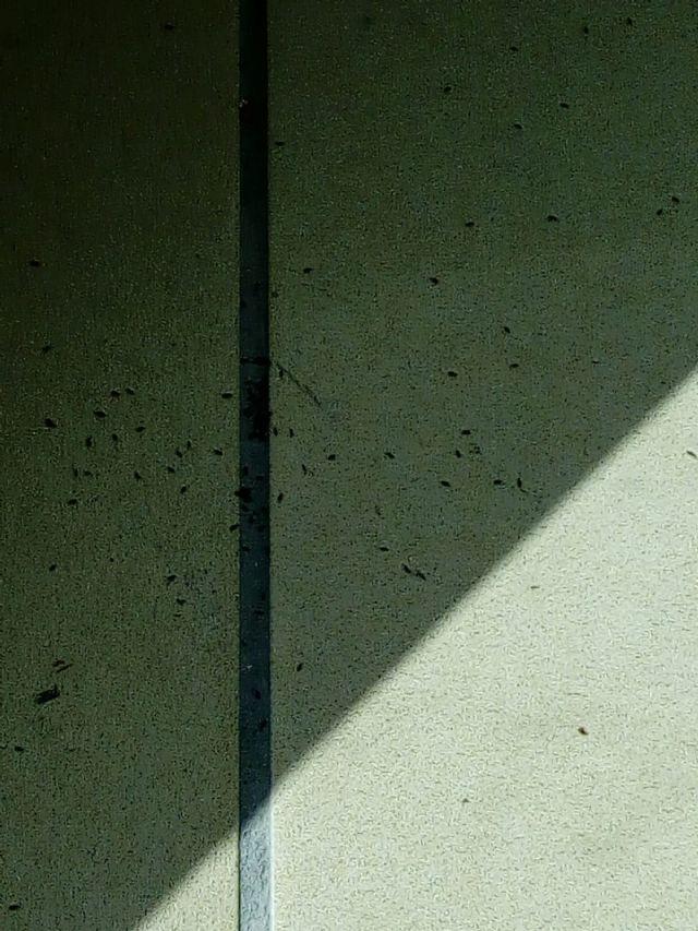 Insetti piccolissimi: Collembola Entomobryidae: cfr. Orchesella bifasciata