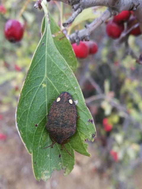 Scutelleridae: Solenosthedium bilunatum