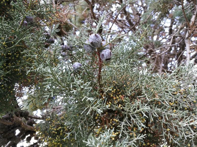 Cupressus argentea?