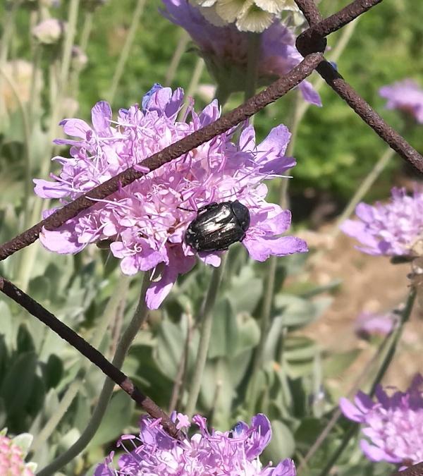 Oxythyrea funesta (Cetoniidae)