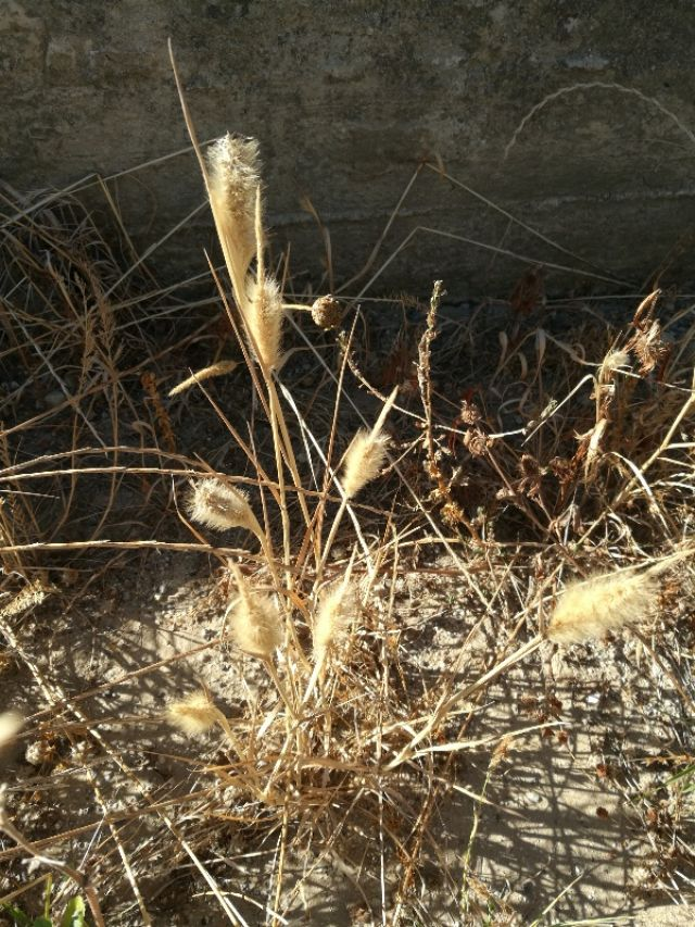 Poaceae: Polypogon monspeliensis