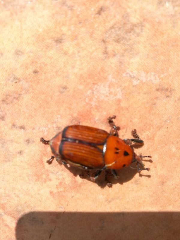 Dryophthoridae: Rhynchophorus ferrugineus