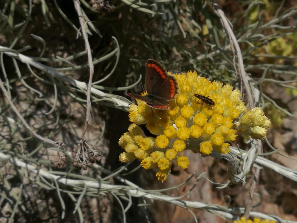 Aricia agestis e altro ospite su Helichrysum panormitanum