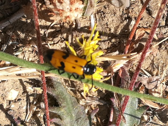 Meloidae: Mylabris sp.
