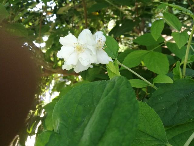 Philadelphus sp. (Hydrangeaceae)