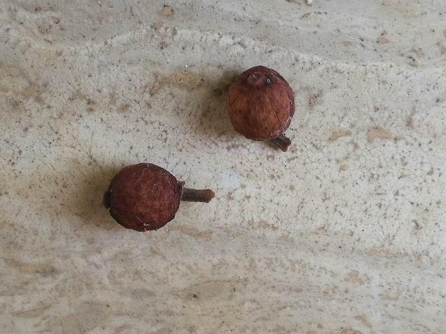 Quale Ficus?  Ficus rubiginosa o  suo ibrido