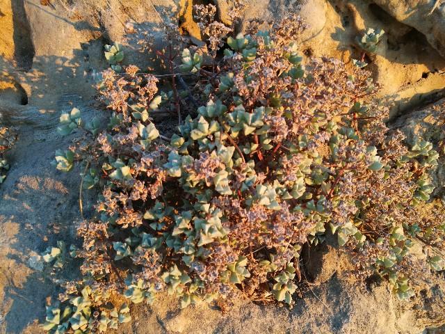 Oscularia cfr deltoides (Aizoaceae)