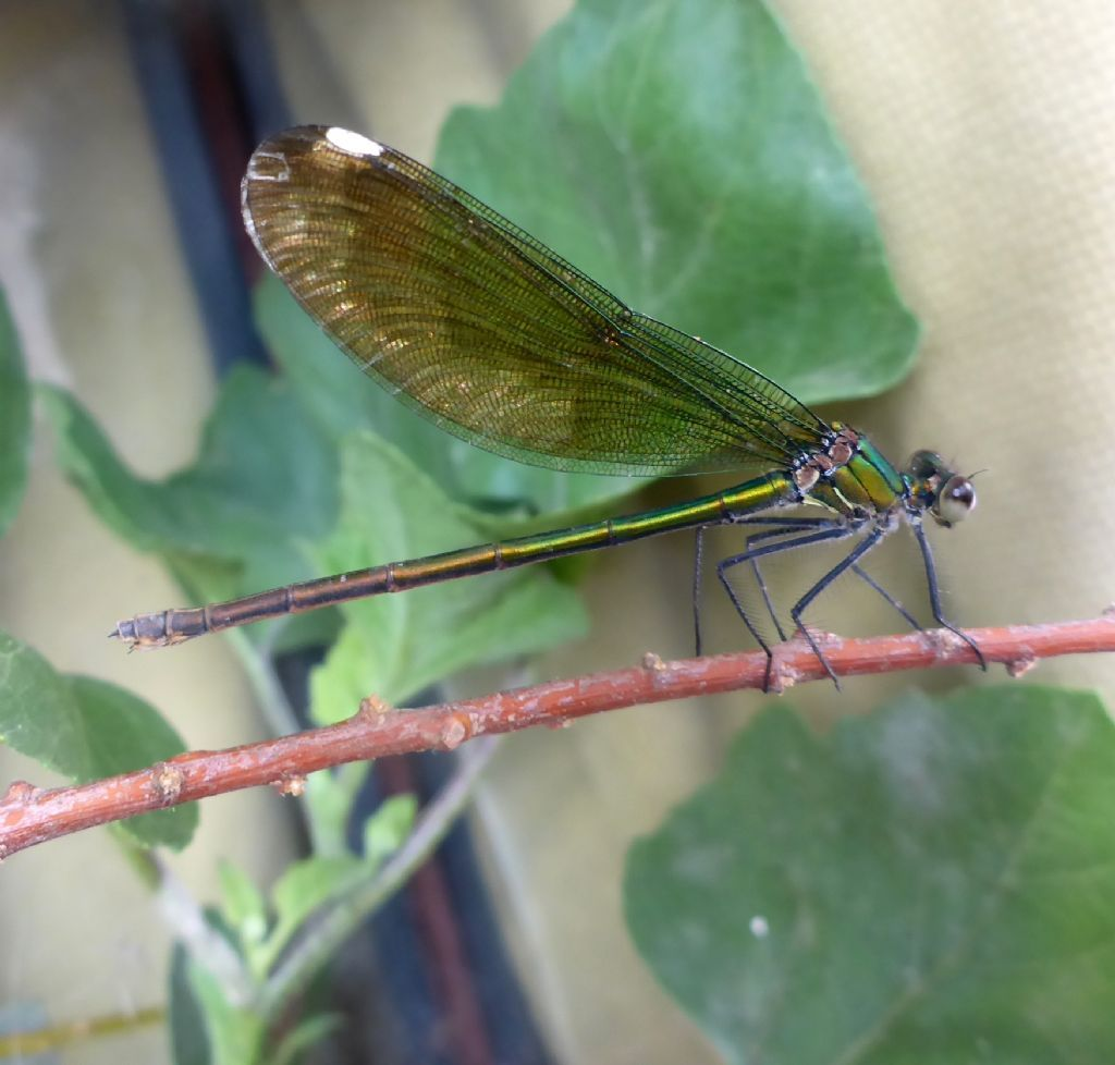 """ID Please!"" - Calopteryx splendens balcanica"