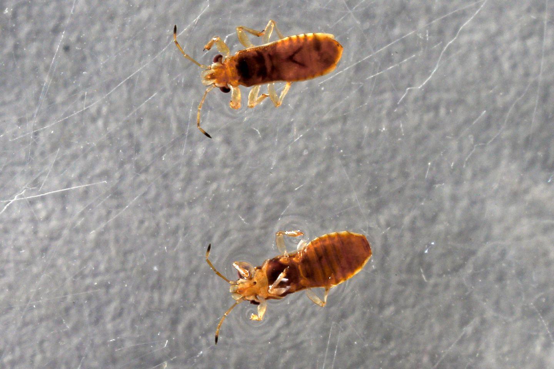 Thaumastocoris  peregrinus (Italia) NUOVO  PER L''EUROPA