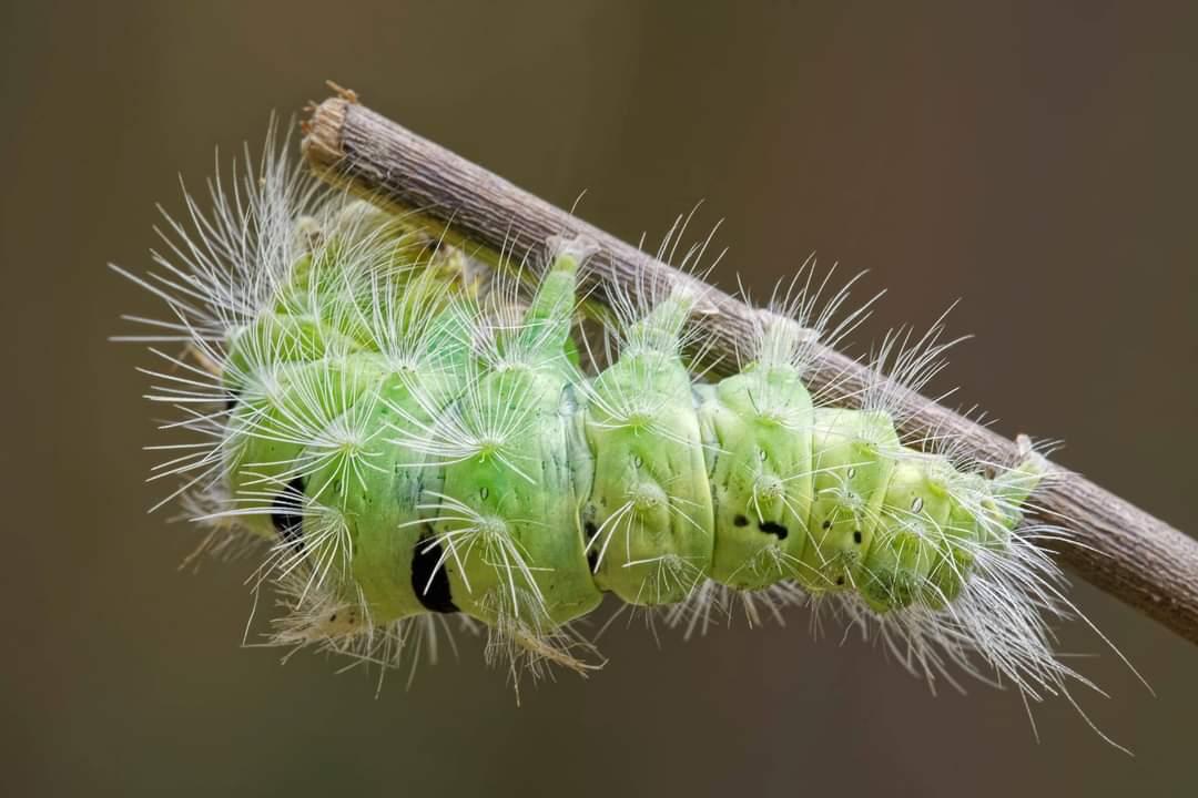 Calliteara pudibunda - Erebidae