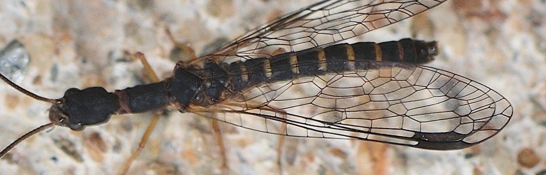 Raphidiidae?  No, Inocelliidae: Parainocellia bicolor