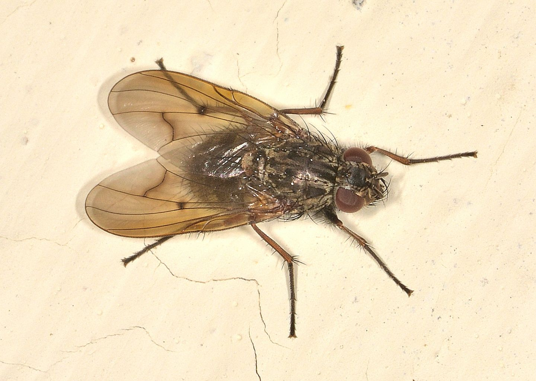 Muscidae: Phaonia tuguriorum