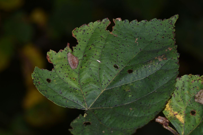 Gracillariidae:  Phyllonorycter issikii