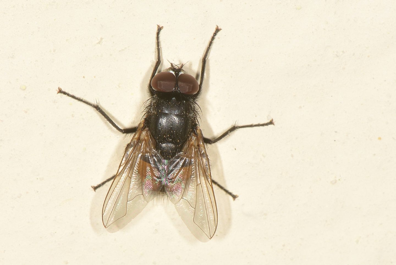 mosca ?  Sì, Musca autumnalis, maschio